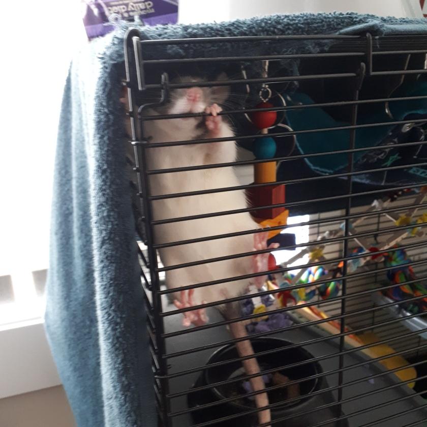rat cage dance
